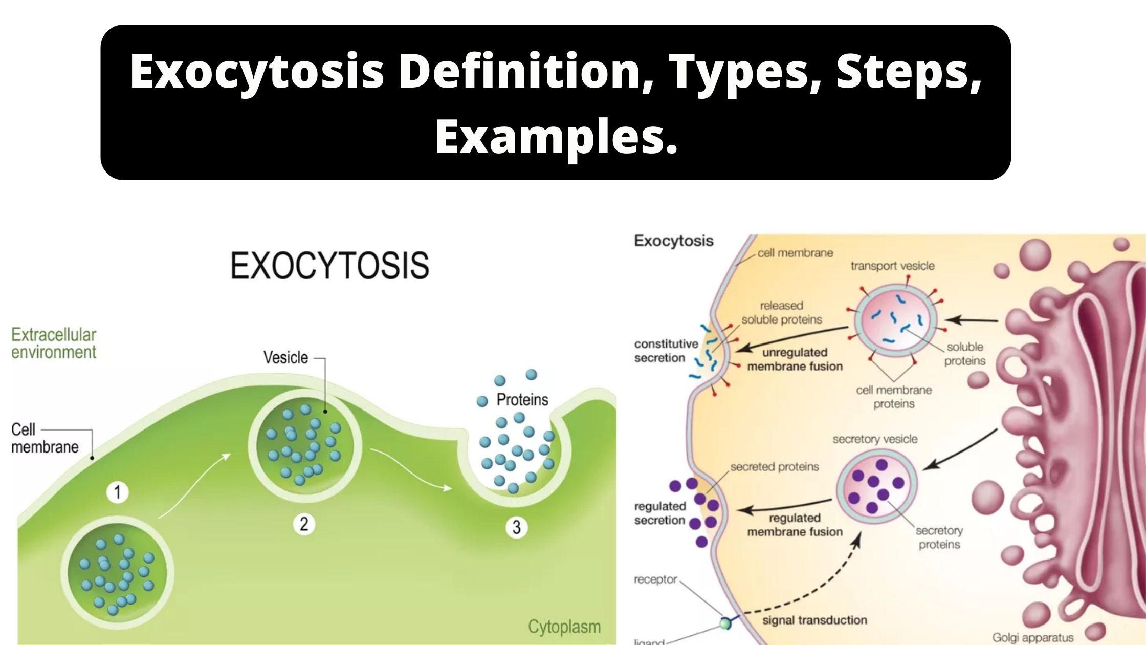 Exocytosis Definition, Types, Steps, Examples.