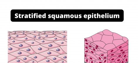 Stratified squamous epithelium Function, Definition, Location, Types.